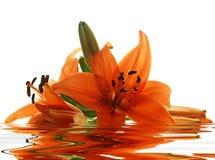 Wenige Lilien mit Reflexion Lizenzfreies Stockfoto