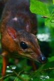 Wenige Maus-Rotwild oder Kanchil (Tragulus kanchil) Lizenzfreie Stockbilder