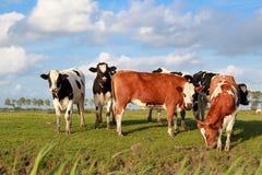 Wenige nette Kühe auf Weide über blauem Himmel Lizenzfreie Stockfotografie