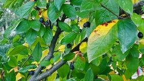 Wenige schwarze Herbstbeeren lizenzfreies stockfoto