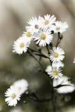 Wenige weiße Blumen-Köpfe stockbild