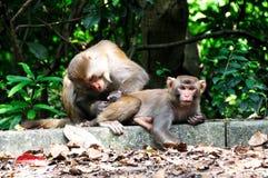 Wenn Affe anziehende Läuse sind Stockfoto