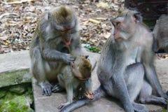 Wenn Sie ` VE nie von den Bali-Affe-Wald hörten, hier ` s die Tatsachen eine Affe-Familie Lizenzfreies Stockbild