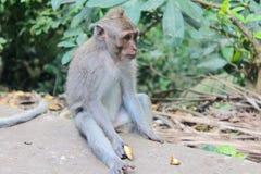 Wenn Sie ` VE nie von den Bali-Affe-Wald hörten, hier ` s die Tatsachen eine Affe-Familie Stockbilder