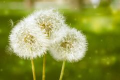 3 wensen Blowballspaardebloemen op een groene parkachtergrond Copyspace stock afbeelding