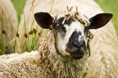 Wensleydale Ewe Royalty Free Stock Photos