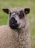 Wensleydale sheep Stock Photos