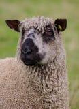 Wensleydale sheep Stock Photos
