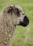 Wensleydale sheep profile Stock Image