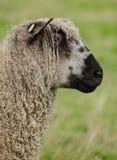 Wensleydale sheep profile Stock Image
