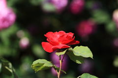 Went to the roses season. And went to the roses in full bloom season, the Chinese side of the most rosewood plants is the rose flower. It is called the Queen of Stock Photography