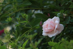 Went to the roses season. And went to the roses in full bloom season, the Chinese side of the most rosewood plants is the rose flower. It is called the Queen of Royalty Free Stock Photo