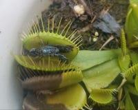 Wenus Flytrap z Przetrawiającym insektem obraz royalty free