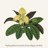 Wenus Pantoflowy OrchidPaphiopedilum Concolor znajdujący w 1825-1890 Fotografia Royalty Free