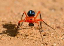 Colourful Red-and-black spider stock image