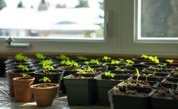 Werden fertig zum Frühling - Fenster-Wachsen Lizenzfreie Stockfotografie