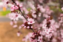 Sakura in Australia Stock Photos