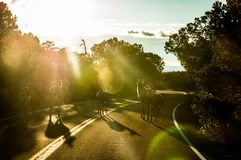 Deers crossing the road during a trip royalty free stock photos