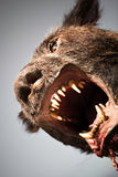 Werewolf. Low angle portrait of werewolf with open mouth and fangs, studio background stock images