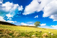 Werfen Sie auf Wiesen in den Hochländern von Schottland Stockfotos