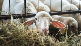 Werfen Sie die Fütterung auf Heu-, Landwirtschaftsindustrie-, Landwirtschafts- und Ackerbaukonzept Stockfoto