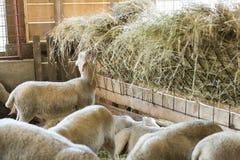 Werfen Sie die Fütterung auf Heu-, Landwirtschaftsindustrie-, Landwirtschafts- und Ackerbaukonzept Lizenzfreie Stockfotografie