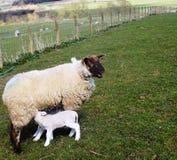 Werfen Sie mit Schafen, in Northumberland, Großbritannien Lizenzfreie Stockfotos