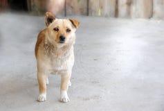 Werfhond een lichte beige kleur. Royalty-vrije Stock Foto