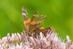 Werkelijk doorstane vlinder met grote delen van vleugels die - op purper/roze genomen wildflowers misschien Joe-pye-onkruid voede royalty-vrije stock afbeeldingen