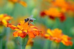 Werkend Honey Bee Royalty-vrije Stock Fotografie