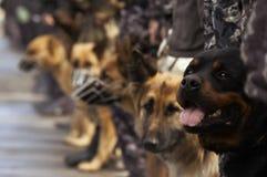 Werkende honden royalty-vrije stock afbeeldingen