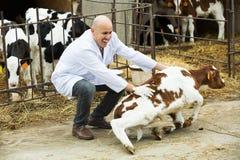Werknemer verzorgingsvee in cowhouse Stock Foto's