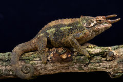 Werner's three horned chameleon (Trioceros werneri) Stock Photo