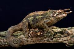 Werner's three horned chameleon (Trioceros werneri) Stock Photo