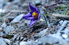Wertvolle purpurrote Blume auf Felsenhintergrund (Pulsatilla slavica) Stockfotografie
