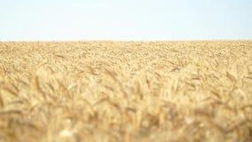 Wery do campo de trigo ensolarado vídeos de arquivo