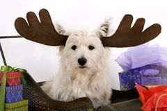 Wesite the black-nosed reindeer Stock Photography