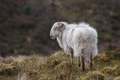 Welsh Ram Stock Images