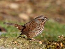 wesoła piosenka sparrow Zdjęcia Royalty Free