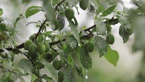 Wesoło drzewo w ogródzie podczas gdy ono jest dżdżysty Owoc drzewo s? wci?? zielone Owoc no dosi?gaj? wiśnia zbiory wideo