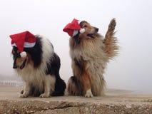 Wesoło Collie psy przy Obrazy Royalty Free