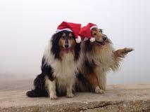 Wesoło Collie psy przy Obraz Royalty Free