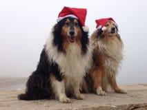 Wesoło Collie psy przy Zdjęcia Royalty Free
