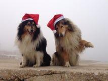 Wesoło Collie psy przy Fotografia Royalty Free