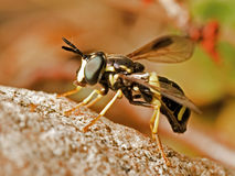 Wesp-als Hoverfly Stock Foto