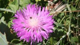 Wesp bij het tot bloei komen Amberboa stock videobeelden