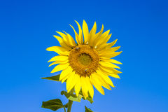 Wesp in bloomin sun flower Stock Image