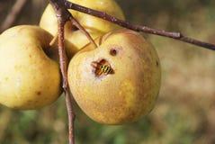 Wesp die in de appel eet Stock Foto's
