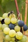 Wesp die over de druiven vliegen stock fotografie