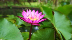 Wesp die rond en op lotusbloembloem vliegen landen stock footage